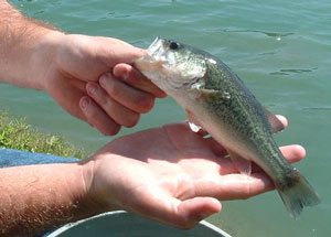 Small Waters Provides Full Fish Stocking And Onsite Lake And Pond Delivery Of Bluegill Shell
